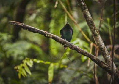 Paradijsvogels bedreigd