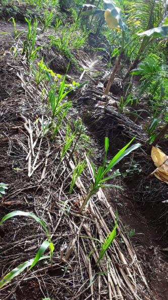 The Odot grass has been expanded from 1 kilogram of cuttings to 140 plants in 2 months