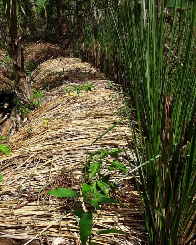 The Vetiver is the first grass working in a support role to help keep the soil covered and cool